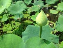 Lotus pączki i lotosów liście w bagnach fotografia stock