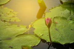 Lotus pławik na stawie z światłem słonecznym Fotografia Royalty Free