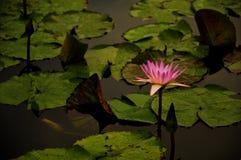 Lotus pławik na stawie Zdjęcia Stock