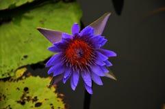 Lotus pławik na stawie Fotografia Royalty Free