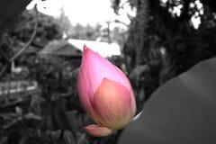 Lotus pączka kwiat Zdjęcie Royalty Free