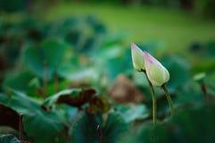 Lotus pączkuje w zielonych polach Zdjęcia Stock