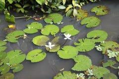 Lotus-Paare Stockfotografie