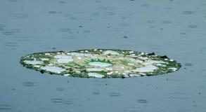 Lotus Pad avec des gouttelettes d'eau sous la pluie photos libres de droits