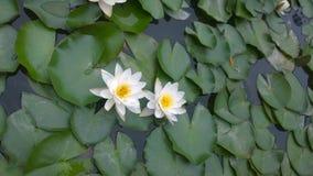 Lotus, paisagem, curso, Foto de Stock Royalty Free