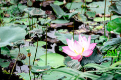 Lotus in palude Fotografia Stock