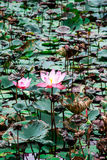 Lotus in palude Immagini Stock Libere da Diritti