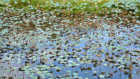 Lotus in palude stock footage