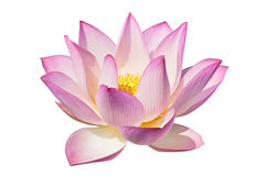 Lotus parfait Photos stock