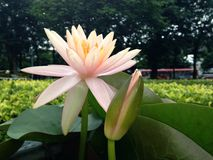 Lotus. In the park Stock Image
