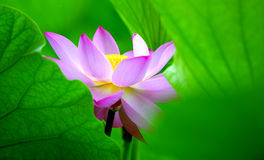 Lotus Stock Photography