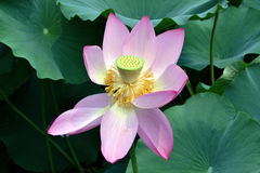 Lotus in the park with red petals Royalty Free Stock Photos
