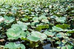 Lotus park Stock Image