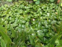 Lotus in perdita Immagini Stock
