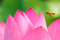Lotus petal Royalty Free Stock Images