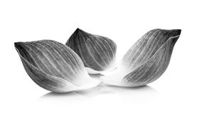 Lotus petal black and white. On a white background stock image
