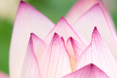 Lotus petal Stock Photos