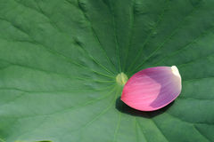 Lotus petal. The close-up of pink lotus petal fallen on leaf royalty free stock images