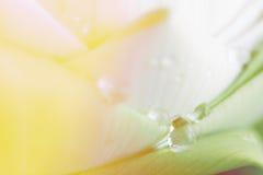 Lotus petal closeup background Royalty Free Stock Photos