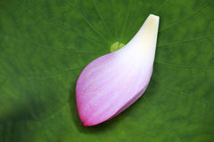 Lotus petal falls on a lotus leaf Royalty Free Stock Image