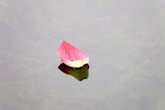 Lotus petal over water. Close up of pink lotus petal floating over water Stock Photography