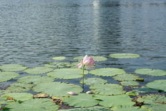 Lotus and petal Stock Images