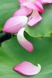 Lotus petals stock image