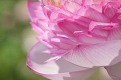 Lotus petals. Lotus flower petals close up Stock Image