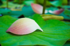 Lotus petals on the lotus leaf. Royalty Free Stock Photo