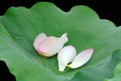 Lotus petals Royalty Free Stock Photography