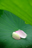 Lotus  petals Royalty Free Stock Photo