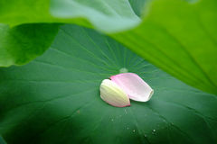 Lotus  petals Stock Photo