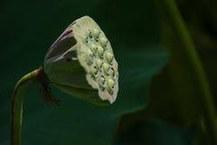Lotus-peul Stock Afbeeldingen