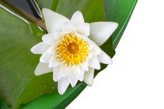 Lotus, Piękny Obraz Stock