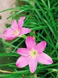 Lotus Pink imagens de stock royalty free