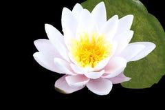 Lotus pink Royalty Free Stock Photo