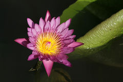 Lotus pink Stock Photography