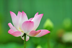 Lotus pink. From Thailand background Stock Image