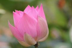 Lotus pink Royalty Free Stock Photo