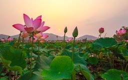 Lotus Pink Fotografia de Stock Royalty Free