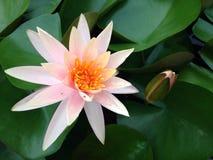 Lotus. The pink Lotus Royalty Free Stock Photos