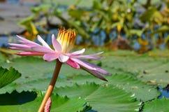 Lotus Pink Stockfoto