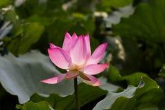 Lotus Pink foto de stock royalty free