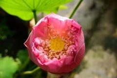 Lotus Pink Foto de archivo