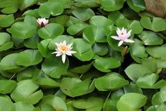 Lotus Pink Foto de Stock