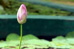 Lotus Pink fotografia de stock royalty free