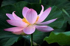 Lotus. It is pink, it can give people the enjoyment of beauty Royalty Free Stock Images