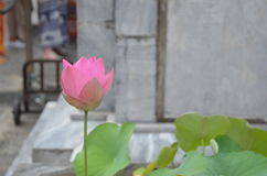 Lotus. Pink cute lotus royalty free stock images