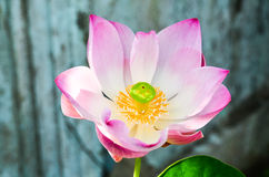 Lotus. Pink lotus flower in graden Stock Photos