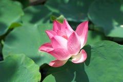 Lotus Pink Flower Pond Summer Plants Beautiful Blossom Royalty Free Stock Photos